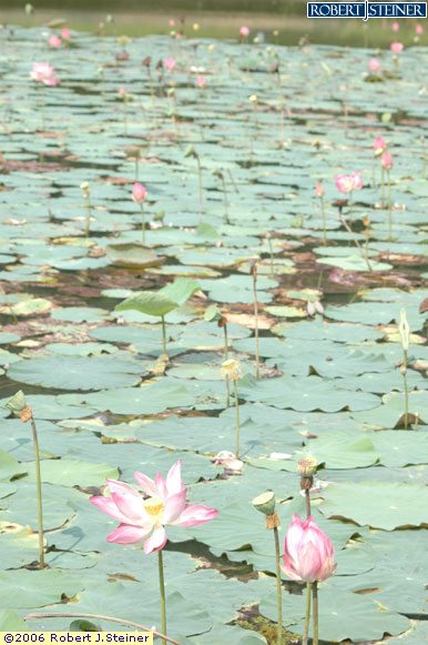 Singapore Botanic Gardens, Lotus Lake