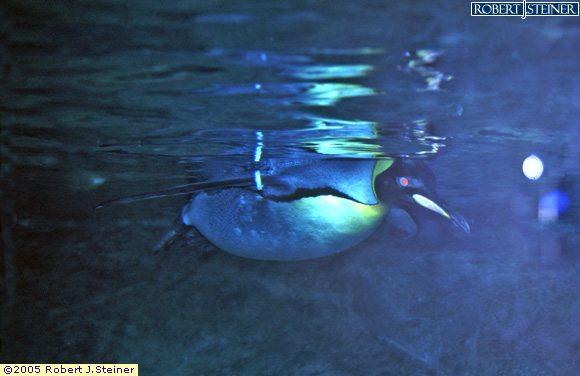Jurong Bird Park, Closeup Swimming Penguin